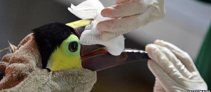ساخت منقار بوسیله پرینتر سه بعدی برای توکان زخمی